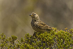 Long-billed Lark - Natal - South Africa S4E7266 (16740106237).jpg