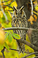 Long-eared Owl - Kisjuszallas - Hungary S4E0920 (15671750198).jpg