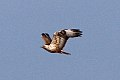 Long-legged Buzzard (Buteo rufinus) (8079428887).jpg