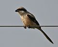 Long-tailed Shrike (Lanius schach) in AP W IMG 4028.jpg