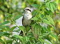 Long Tailed Shrike (3037975136).jpg