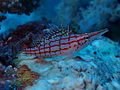 Longnose Hawkfish at Chole Bay - Zanzibar.jpeg