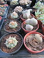 Lophophora williamsii (4877116952).jpg