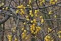 Loranthus europaeus (Riemenmistel) IMG 6777.JPG
