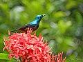 Loten's Sunbird Male (Cinnyris lotenius) (19166882946).jpg