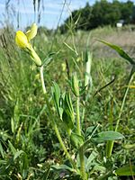 Lotus maritimus (var. siliquosus) sl15.jpg