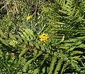 Lotus pedunculatus1 ies.jpg