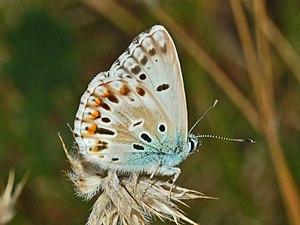 Chalkhill blue - Aberrant male