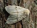 Lymantria dispar ♀ - Gypsy moth (female) - Непарный шелкопряд (самка) (27003550138).jpg