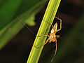 Lynx spider (Oxyopidae Oxyopes sp.) from Cendrawashi Bay.jpg