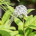 Lysimachia clethroides in Jardin des 5 sens (1).jpg