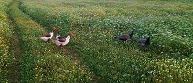 MD.Boualam (Poultry Species farm).JPG