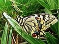 Macaón * Mariposa de cola de golondrina (9119806581).jpg