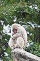 Macaca fuscata in Ueno Zoo 2019 31.jpg