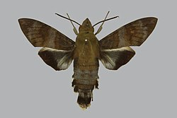 Macroglossum tenebrosa BMNHE813839 male up.jpg