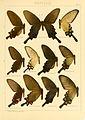 Macrolepidoptera01seitz 0011.jpg