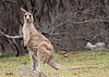 Kangaroo injures Australian politician