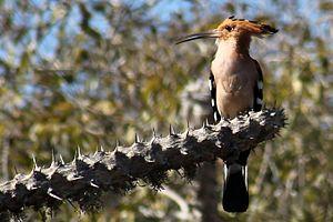 Madagascan hoopoe - Image: Madagaskarhop, Reniala 2