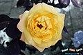 Madame Rosa Amarilla, fruto de la presente estación del año - panoramio.jpg