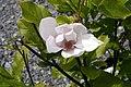 Magnolia Jane 14zz.jpg