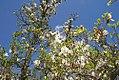 Magnolia x soulangiana Alba 3zz.jpg