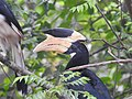 Malabar Pied Hornbill from Sindhudurg District Maharashtra DSCN0241 03.jpg