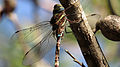 Male Blue-spotted Hawker detail (13162786644).jpg