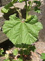 Malva neglecta-leaf.jpg