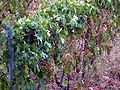 Malvasia grapes on the vine.jpg