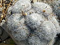 Mammillaria parkinsonii (5780124227).jpg