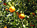 Mandarin orange. Libya.jpg