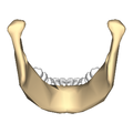 Mandible close-up posterior.png