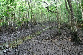 Mangrove in Queensland, Australia