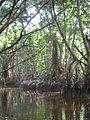 Mangrovie di celestun.JPG