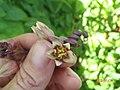Manihot esculenta Crantz (AM AK330169-4).jpg