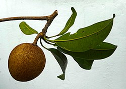 Manilkara zapota - Nispero fruit and leaves 02.jpg