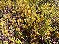 Manulea cheiranthus Hangklip vegetation.jpg