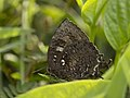 Many tailed oakblue from siruvani IMG 3761.jpg