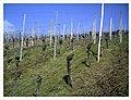 March Vine Denzlingen - Master Season Rhine Valley Photography - panoramio (1).jpg
