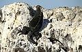 Marine Iguana Isabela Elizabeth Bay.jpg