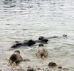 Photo of 6 seals at surface next to shoreline