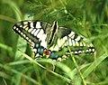 Mariposa desovando - butterfly laying eggs (249924424).jpg