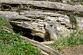 Marmota marmota Tauerntal 20160807 B05.jpg