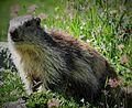 Marmotte 2014 2015 (19).JPG