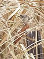 Marsh Wren Picking at a Cattail Head on Cokeville Meadows NWR (21256258409).jpg