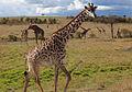 Masai Giraffe Maasai Mara National Reserve Kenya.jpg