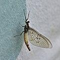 May fly (35942405122).jpg