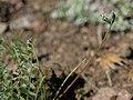 Meadow loco, Oxytropis deflexa var. sericea (38486124990).jpg