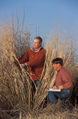 Measuring switchgrass.usda.jpg