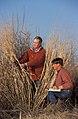 Measuring switchgrass.usda.jpg